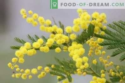 Comment garder le mimosa duveteux dans un vase