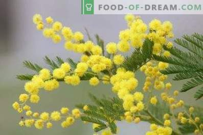 Kako obdržati mimozo v vazi
